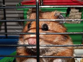 Hoe duur is een hamster?